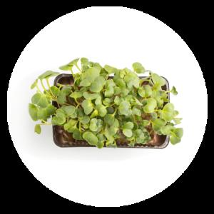 comprar Planta preparada para tu huerto ecológico en casa online supermercado ecologico en barcelona frooty