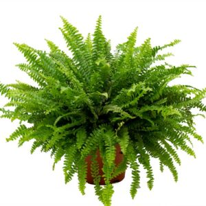 comprar planta helecho de colgar bio online supermercado ecologico en barcelona frooty