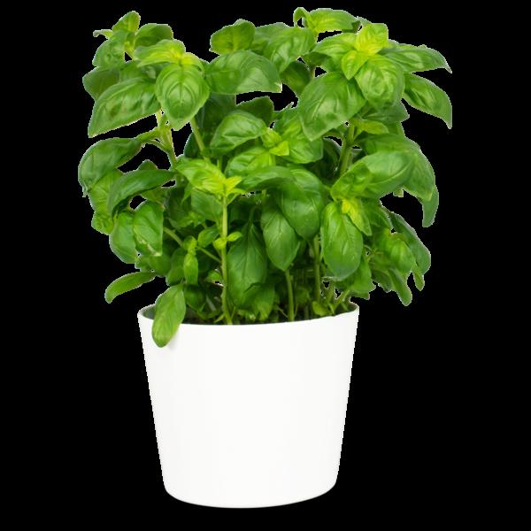 comprar Steckbrief Basilikum, Albahaca ecológica Frooty bio online supermercado ecologico en barcelona frooty