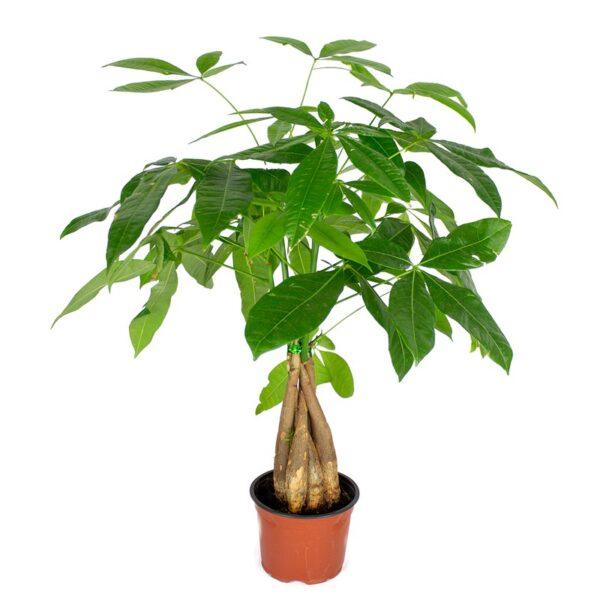 Pachira Acuatica Pequeña, planta de interior muy resistente