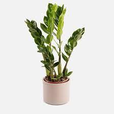 Zamioculcas Zamiifolia o Planta ZZ arquitectónica y resistente gracias a sus hojas gruesas, verdes y de textura encerada
