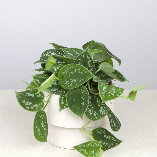 comprar Pachira Acuatica Tronco, planta de interior Frooty bio online supermercado ecologico en barcelona frooty