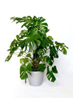 comprar planta monstera deliciosa bio online supermercado ecologico en barcelona frooty