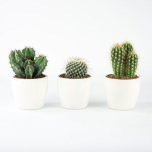 comprar mini cactus bio online supermercado ecologico en barcelona frooty