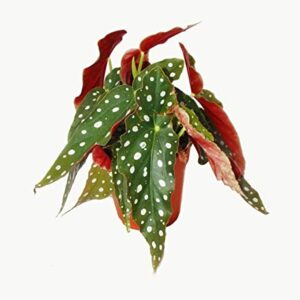 comprar planta begonia maculata bio online supermercado ecologico en barcelona frooty