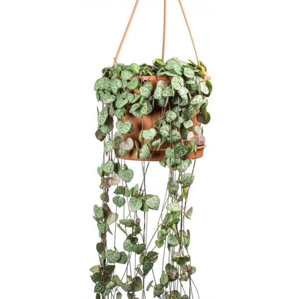 comprar planta Ceropegia-woodii bio online supermercado ecologico en barcelona frooty