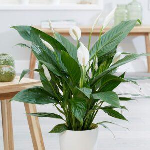 """comprar planta Spathiphyllum """"Lirio de la Paz"""" bio online supermercado ecologico en barcelona frooty"""