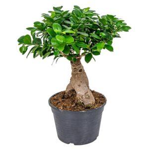 comprar bonsai ficus ginseng bio online supermercado ecologico en barcelona frooty