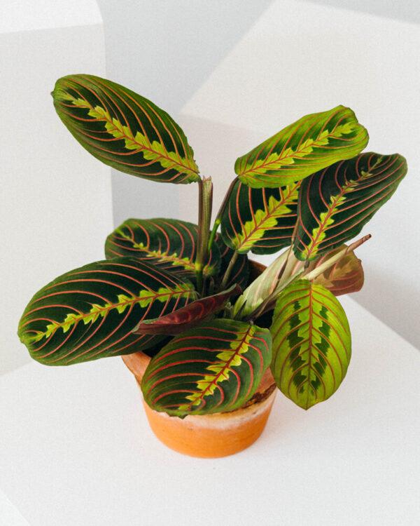 comprar planta tricolor marantatricolor bio online supermercado ecologico en barcelona frooty