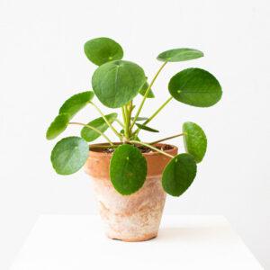 comprar planta pilea money plant bio online supermercado ecologico en barcelona frooty